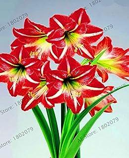 PLAT FIRM Germinazione dei semi: 1Pc reale Hippeastrum lampadine bonsai da interno Bulbi da fiore R Amaryllis Bulbi Piante
