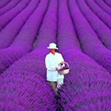 200 PCS / bag french provence lavender seeds very fragrant organic lavender seeds plant flower Flower seeds Home Garden…