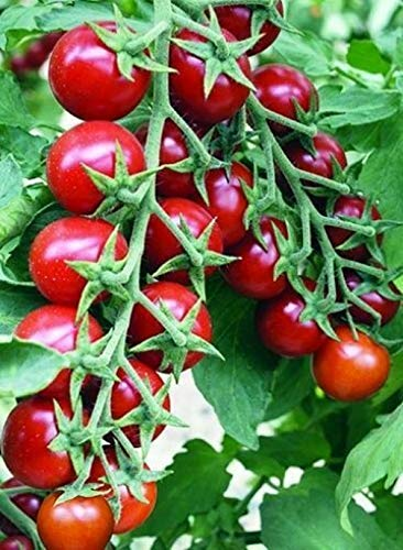 Early Tomato - Seeds Cherry Tomato Red Early Vegetable Organic Heirloom Ukraine