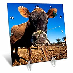 3dRose A Jersey Cow Being Inquisitive. - Desk Clock, 6 by 6-Inch (dc_206664_1)