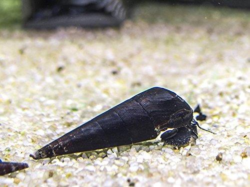Amazon.com: Aquatic Arts 1 Black Devil Snail (Faunus ater) - 1 to 3 inches long - Algae-eating and safe for fish, live aquarium plants, and shrimp: Pet ...