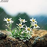 Fash Lady ZLKING 100 pcs Pure Sacred Flowers Brave White Edelweiss Bonsai Austrian Country Flower Garden Dotted Plants Understory