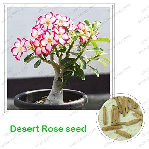 Prime Time! Desert Rose seeds,potted flowers seeds,Adenium Obesum color optional 100% true seed in-kind shooting,1 pcs/bag seeds of hope