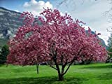 Prunus serrulata JAPANESE FLOWERING CHERRY