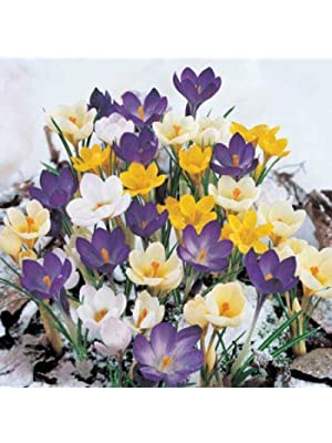 PRE-Order for Spring (YUN2) Crocus (Bulbs), Ground Cover, Deer-Resistant, Hardy Perennial (Snow Super Bag)