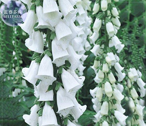(White Foxglove Digitalis Purpurea Perennial Flower Seeds, 50 Seeds, Original Pack)