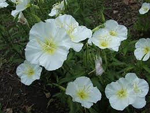 Evening Primrose- White- 200 Seeds by None (Image #2)