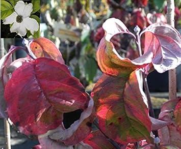 Cornus Florida Rainbow Bunter Blumenhartriegel Ostamerikanischer