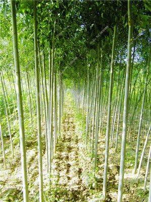 Fraxinus chinensis Semilla Beautifying Ash Árbol de hoja caduca exótico Semilla Bonsai Bai Shu La arbusto de jardín ...