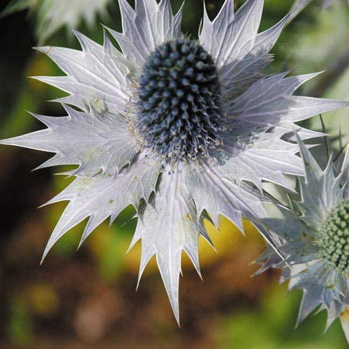 25 Graines Sea Holly très orné! Eryngium giganteum miss willmott de Ghost