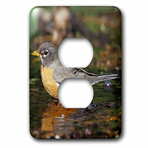 3dRose Danita Delimont - Robin - American Robin bathing, Tower Grove Park, St. Louis MO - Light Switch Covers - 2 plug outlet cover - Outlet St Mo Louis