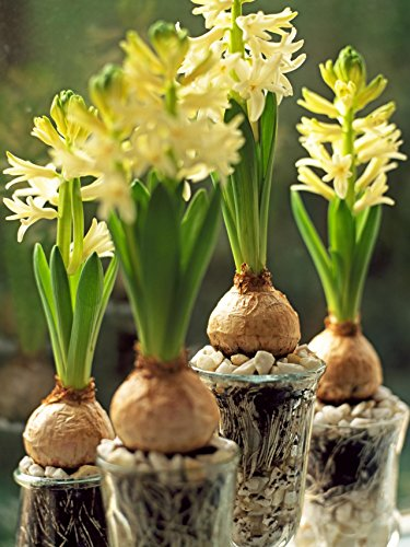 Hyacinth Growing Kit, Great gift! Fragrant bulb, Vase (Yellow)