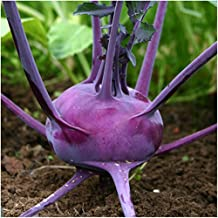 Package of 500 Seeds, Purple Vienna Kohlrabi (Brassica oleracea) Non-GMO Seeds By Seed Needs