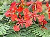 1 Royal Poinciana Flame Tree (delonix regia) - Live Seedling - Not Seeds Bonsai Live Plant