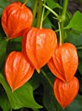 Chinese Lantern (Physalis Alkekengi) - Exotic - Showy Easy Grow - Shrub Seeds (50)