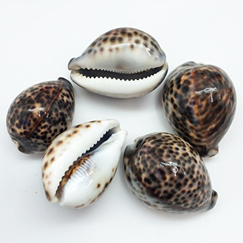 PEPPERLONELY 5PC Polished Tiger Cowrie Sea Shells, 2-1/2 Inch ~ 3-1/4 - Tiger Shell