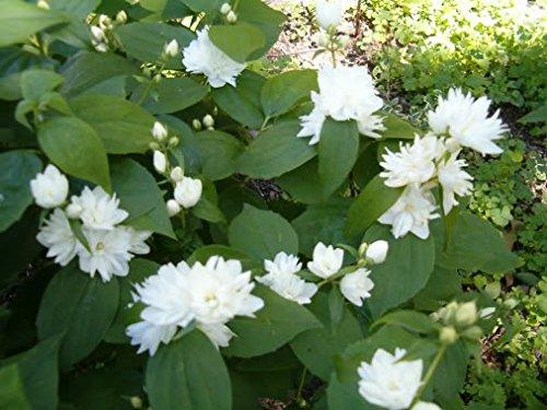 Minnesota Snowflake Mockorange - Philadelphus Virginalis Established Roots - 1 Gallon Trade Pot by Growers Solution