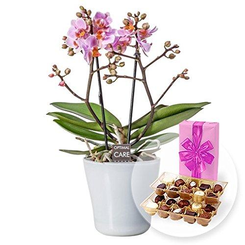 Rosa Orchidee im weißen Glastopf und Belgische Pralinen