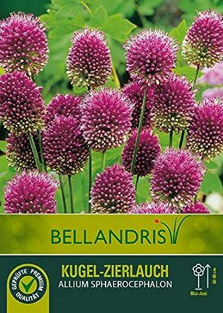 ca. 10-12mm 5 Blumenzwiebeln mgc24/® Sternkugelf/örmiger Zierlauch Allium Christophii