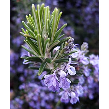 Rosemary Plant - 3  pot - Great Herb Plant for Indoors or Out
