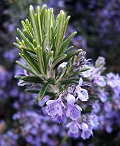 "Rosemary Plant - 3"" pot - Great Herb Plant for Indoors or Out"