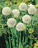 "Mount Everest ALLIUM ~White~ ""Allium Stipitatum 10- Perennial Seeds"