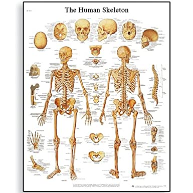 3B Scientific VR1113UU Glossy Paper Human Skeleton Anatomical Chart, Poster Size 20' Width x 26' Height Poster Size 20 Width x 26 Height