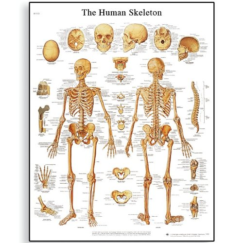 System Anatomical Skeletal Chart (3B Scientific VR1113UU Glossy Paper Human Skeleton Anatomical Chart, Poster Size 20