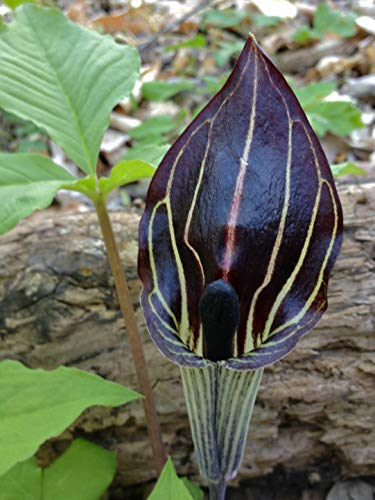 3 Jack-in-The-Pulpit (Bareroot/Bulbs) Arisaema triphyllum,Native Flowers,Woodland Plants, Shade Garden