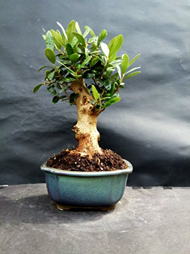 Olive tree - Bonsai - approximately 20 years old by mini bonsai (Image #7)