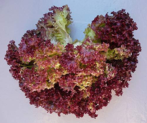 Lettuce Lollo Rosso (aka Lolla Rossa) Great Heirloom Vegetable 500 Seeds (Rossa Seeds)