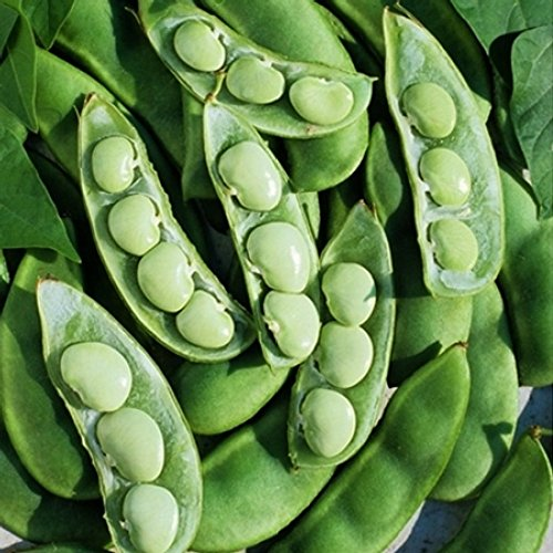 Burpee Improved Lima Bush Beans, 30+ Premium Heirloom Seeds, ON Sale!, (Isla's Garden Seeds), 99% Purity, 85% Germination, Non GMO Survival Seeds, Highest Quality