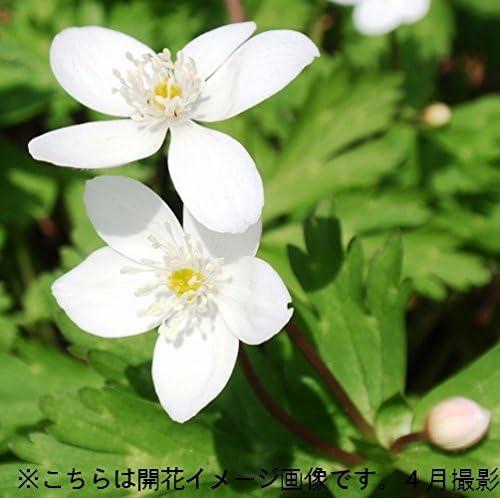 【紫桜館山の花屋】山野草:ニリンソウ(二輪草) 9cmポット苗5ポットセット