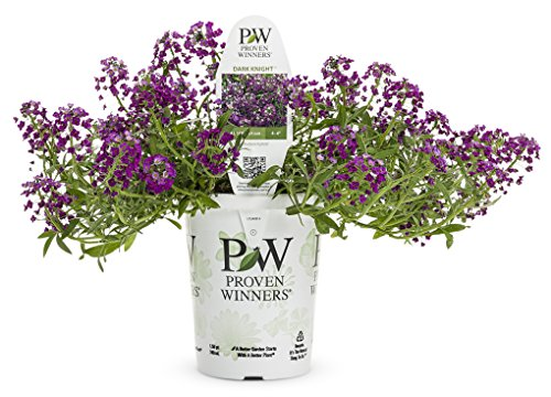 Dark Knight Sweet Alyssum (Lobularia) Live Plant, Purple Flowers, 4.25 in. Grande, (Alyssum Plants)