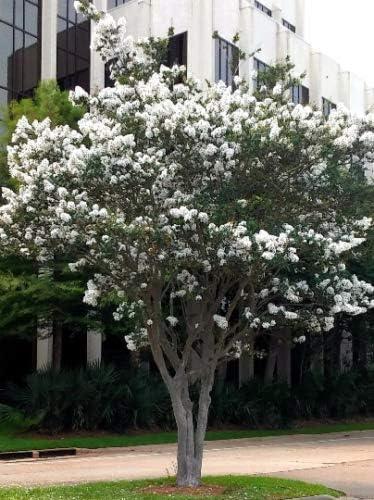 Amazon Com Live Plant Crepe Myrtle Trees Snow White Flowering