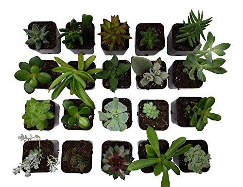 Succulent Plants [20 Pack Succulents] - Rooted 2 Inch Succulents in Planter Pots with Soil, Unique Live Indoor Plants for Decoration, Easy Care Plant Decor by Succulent Depot by Succulent Depot (Image #2)
