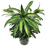 Dracaena reflexa 'Song of Jamaica', Pleomele - 7 Gallon Live Plant
