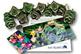 Fat Plants San Diego Ten String of Buttons Cuttings, Crassula Perforata