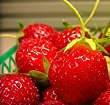 Lulan Mara Des Bois French Everbearing Strawberry 100 Seeds - BEST FLAVOR!