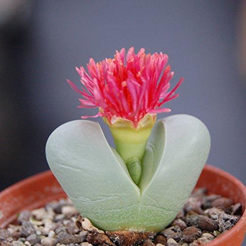 Argyroderma delaetii - Living Rocks - Lithops - 20 seeds CactusPlaza.com