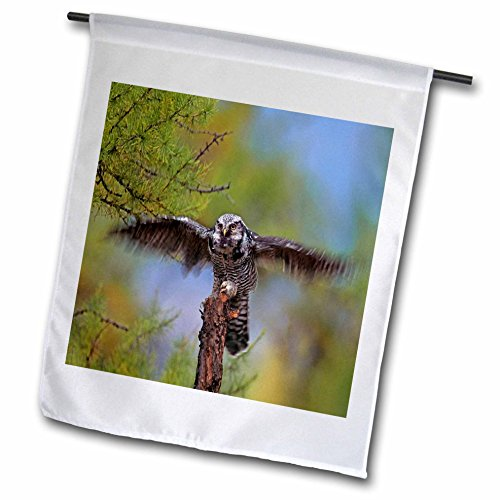 3dRose Danita Delimont - Owls - Northern Hawk Owl, Surnia ulula, flapping its wings, B.C., Canada - 12 x 18 inch Garden Flag - Wings Canada