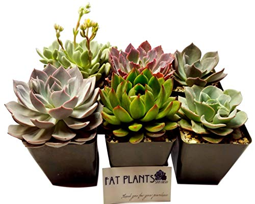 Fat Plants San Diego Large Rosette Succulent Plant Collection in Plastic Growers Pots by Fat Plants San Diego (Image #3)