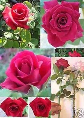 Long Stem Rose Plant - Rare - Long Stem Red Rose (Thornless Rose) seeds