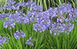 "Agapanthus Africanus, Blue Lily of the Nile, LIVE Potted Plant, 10"" to 14"""
