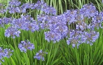 Amazoncom Agapanthus Africanus Blue Lily Of The Nile Live