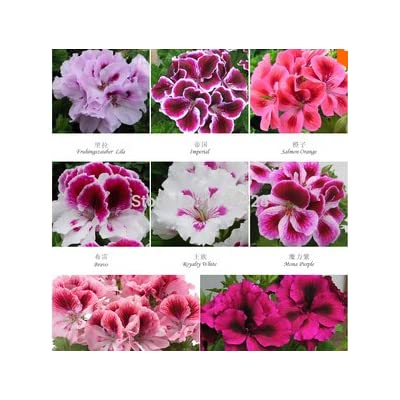 LOSS PROMOTION SALE! 100pcs/Lot Fresh Genuine Geranium seeds Pelargonium flower seeds bonsai plants for home Garden Gift : Garden & Outdoor