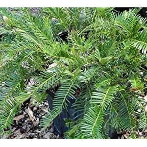 (1 gallon) Cephlataxus Creeping Yew- An attractive and versatile, problem-solving evergreen shrub with long, dark green needles that make it very useful for foundation or mass plantings.