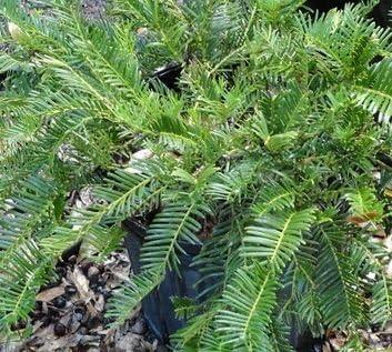Amazon Com 1 Gallon Cephlataxus Creeping Yew An Attractive