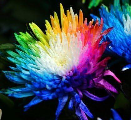 100 reales Semillas crisantemo del arco iris de flores, rara, nueva llegada jardín de DIY planta de flor de flores de semillas de plantas ornamentales: Amazon.es: Jardín