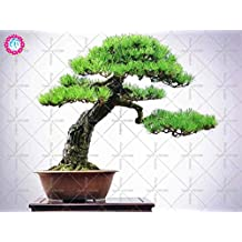 10pcs Japanese black pine seed bonsai garden interior decoration, evergreen, ornamental strong perennial garden seeds